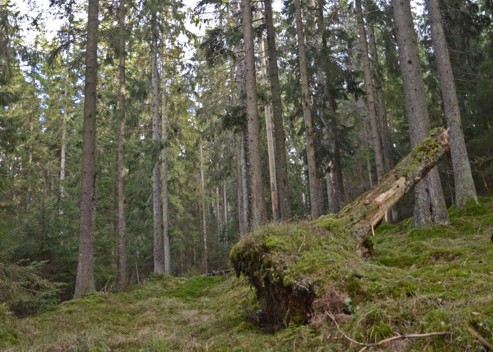 Råtjärnsskogen